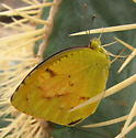 Possibly Eurema in west Texas; could be a specimen of Eurema dina? - Abaeis nicippe