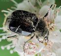Coleoptera. Scarabaeidae. Trichiotinus assimilis - Trichiotinus assimilis