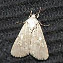 Moth at black light #2 - Spodoptera exigua