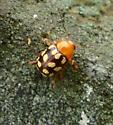 spotted beetle - Cryptocephalus guttulatus