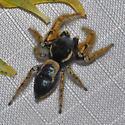 Large Jumper? - Phidippus arizonensis - male