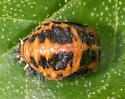 Ladybug Pupa? - Harmonia axyridis