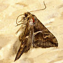 Bunkhouse Moth - Melipotis cellaris