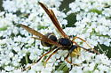 Northern Paper Wasp? Male, female or whatever? - Polistes fuscatus