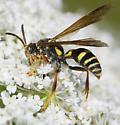 green-faced wasp? - Saygorytes phaleratus