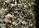 Hemp Russet Mite - Aculops cannabicola