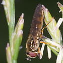 Fly  - Platycheirus