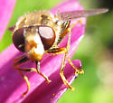 Syrphid fly - Parhelophilus rex - female
