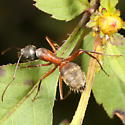 Carpenter ant tending aphids on Bidens - Camponotus chromaiodes - female
