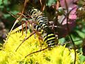 Locust Borers mating - Megacyllene robiniae - male - female
