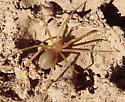 golden spider - Loxosceles deserta