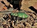 Boreal Long-lipped Tiger Beetle - Cicindela longilabris perviridis - Cicindela longilabris - male