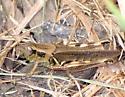 Melanoplus sanguinipes? - Melanoplus femurrubrum - female