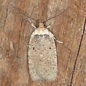 Hodges#0858 - Agonopterix nigrinotella