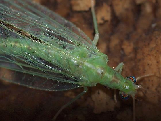 Lacewing, Chrysopa? - Chrysoperla