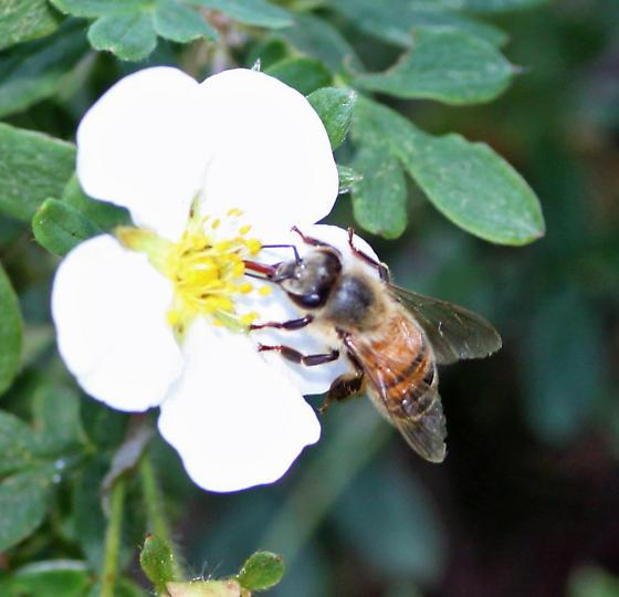Italian Honey Bee  - Apis mellifera