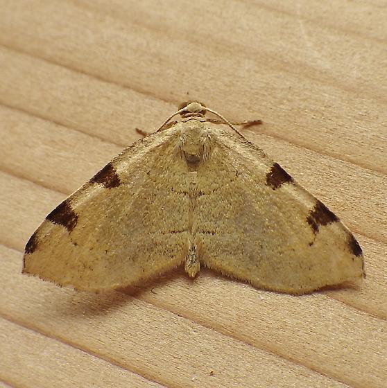 Geometridae: Heterophleps triguttaria - Heterophleps triguttaria