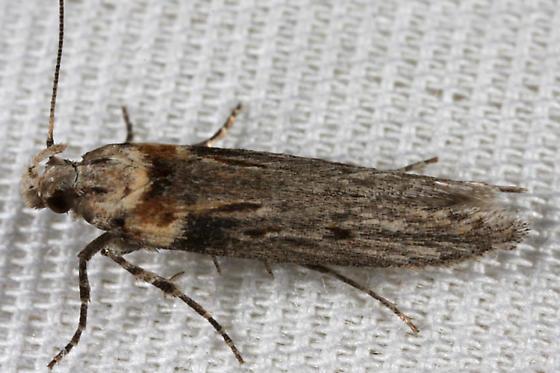 unknown moth - Gnorimoschema baccharisella
