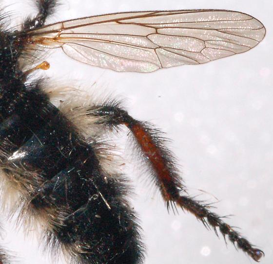 Unkonwn Robber Fly - Stenonpogininae? - Cyrtopogon willistoni