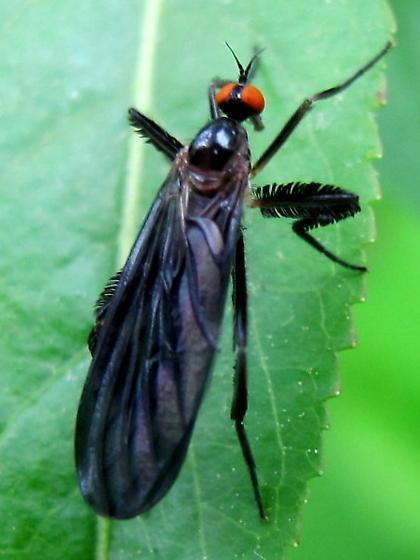 Rhamphomyia - Rhamphomyia longicauda - female