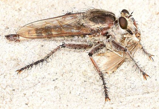 Robberfly - Triorla interrupta - male