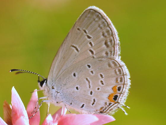 Eastern Tailed-blue - Cupido comyntas