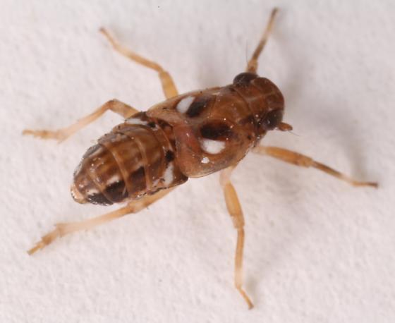 Planthopper? - Asarcopus palmarum - male