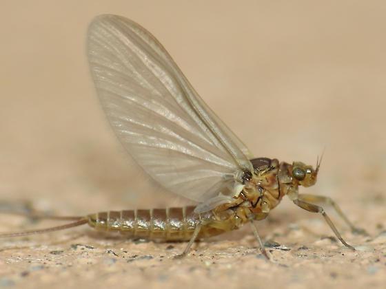 baetid female - Anafroptilum