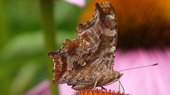 Questionable Question Mark - Polygonia comma - female