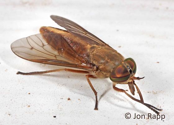 Horse Fly - Tabanus