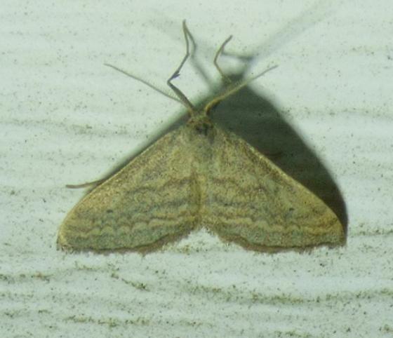 unknown moth - Lobocleta plemyraria