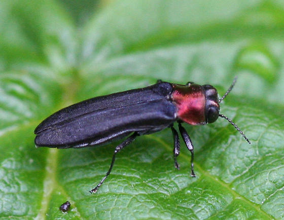 Red-necked Cane Borer, a black and metallic red beetle - Agrilus ruficollis