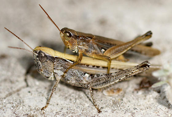 Spotted-Winged Grasshopper (Orphulella pelidna)