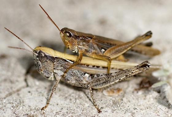 Spotted-Winged Grasshopper (Orphulella pelidna)