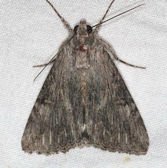 Moth - Melipotis jucunda
