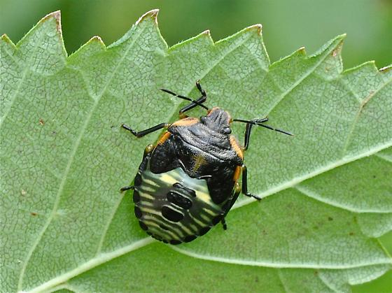 Stink Bug ? - Chinavia hilaris