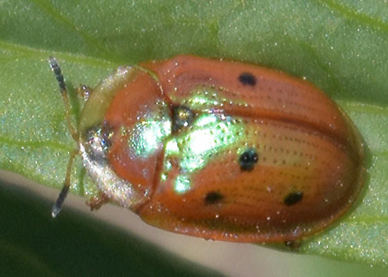 Not Quite a Lady Beetle - Jonthonota nigripes