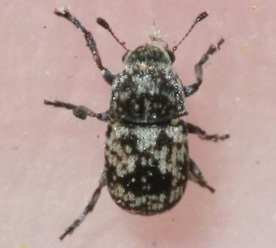 Anthribidae? - Eusphyrus