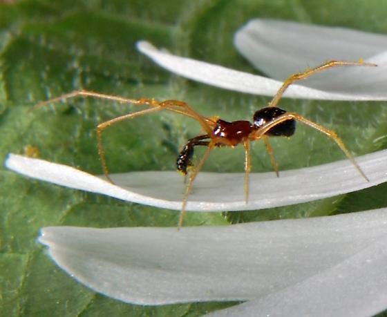 Ant mimic spider? - Neottiura bimaculata - male