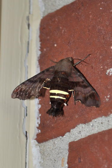 Big brown moth with yellow stripes on the lower part of its body??? - Amphion floridensis