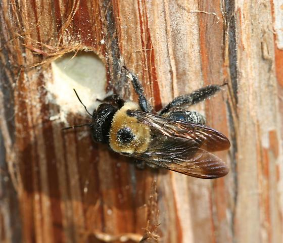 Eastern Carpenter Bee - Xylocopa virginica - female