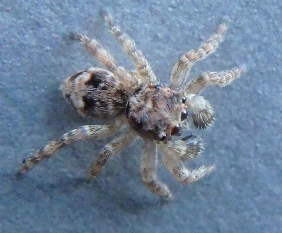 Jumping Spider - Sitticus fasciger