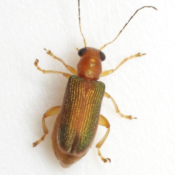 Megascelis texana Linell - Megascelis texana