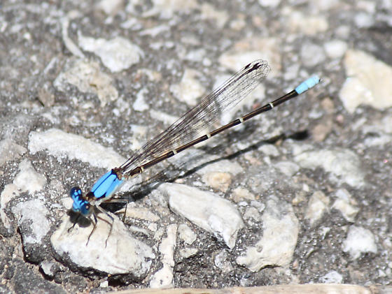 Blue-fronted Dancer?? - Argia apicalis - male