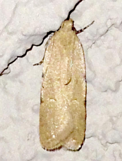 Unknown Moth - Friseria cockerelli