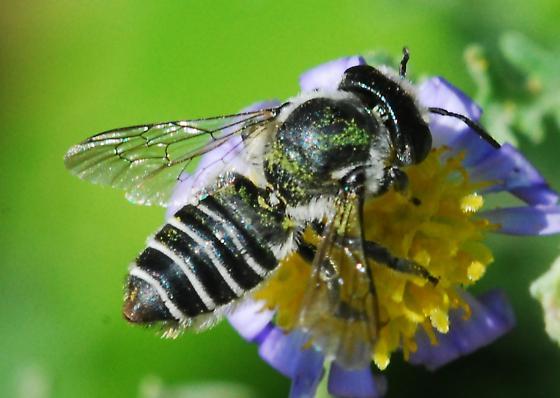 Reality check: Megachile? - Megachile gentilis - female