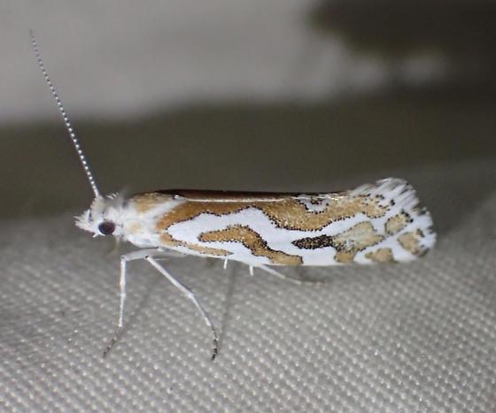 Moth - Ypsolopha maculatella