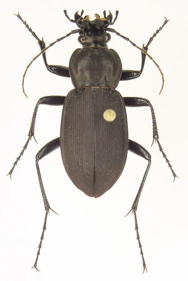 Carabus vinctus - female