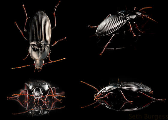 (not a) Darkling Beetle - Pterostichus permundus