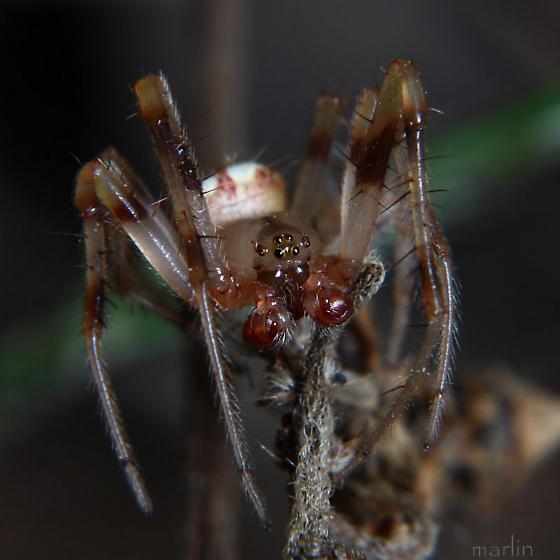 Male Orb Weaver - Araneus thaddeus - male